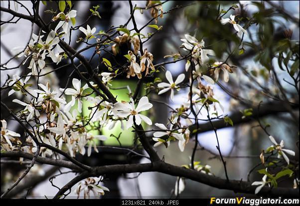 In Giappone in cerca dei ciliegi in fiore-_dsc8435_a.jpg