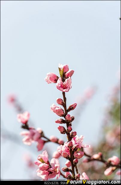 In Giappone in cerca dei ciliegi in fiore-dsc_6247.jpg