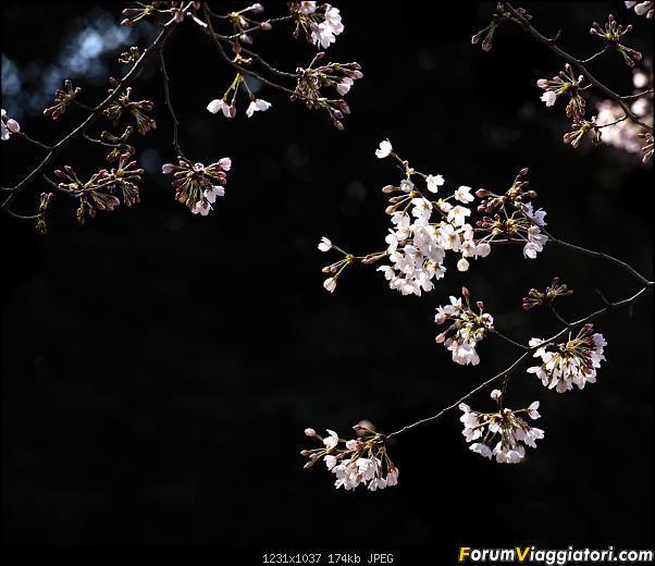 In Giappone in cerca dei ciliegi in fiore-dsc_6264.jpg