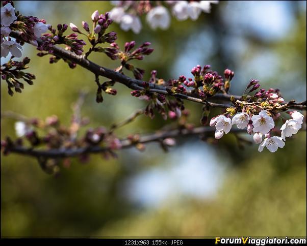 In Giappone in cerca dei ciliegi in fiore-dsc_6266.jpg