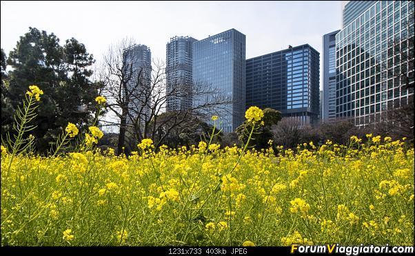 In Giappone in cerca dei ciliegi in fiore-dsc_6287.jpg