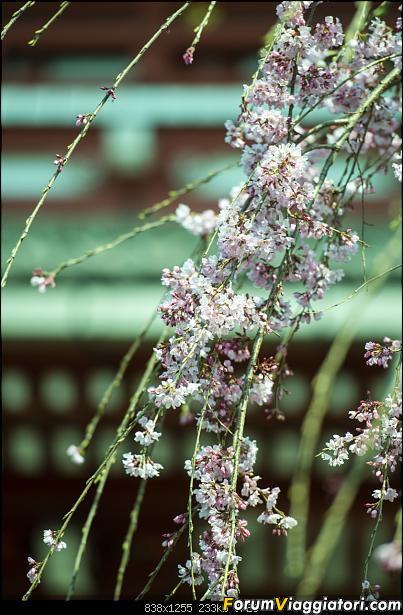 In Giappone in cerca dei ciliegi in fiore-_dsc8558.jpg