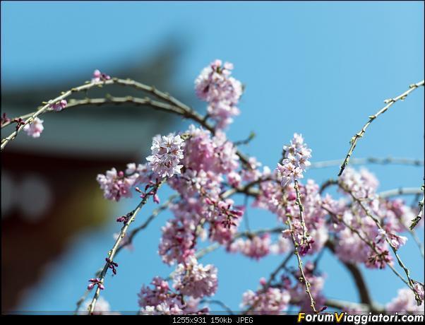 In Giappone in cerca dei ciliegi in fiore-_dsc8559_a.jpg