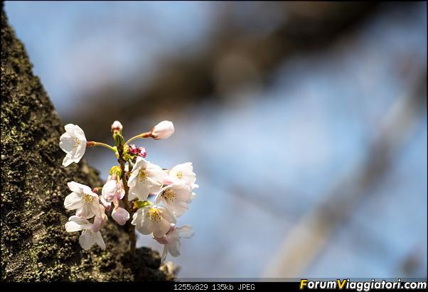 In Giappone in cerca dei ciliegi in fiore-_dsc8610.jpg