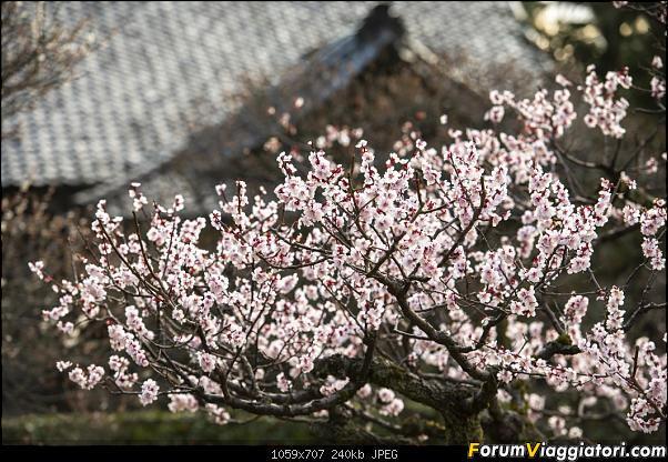In Giappone in cerca dei ciliegi in fiore-_dsc8792.jpg