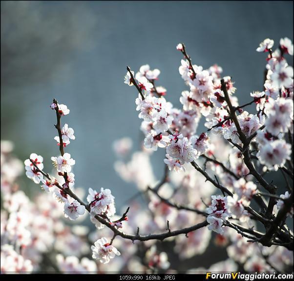 In Giappone in cerca dei ciliegi in fiore-_dsc8794.jpg