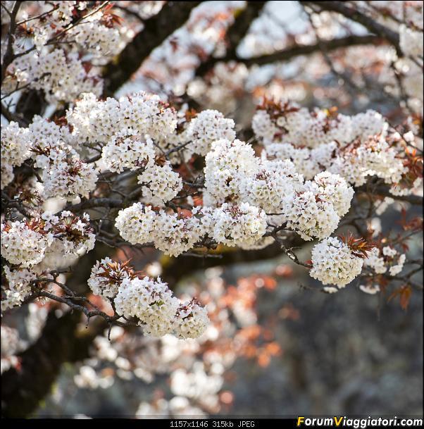 In Giappone in cerca dei ciliegi in fiore-_dsc8870.jpg