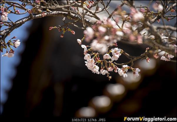 In Giappone in cerca dei ciliegi in fiore-_dsc8980.jpg