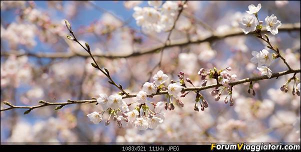 In Giappone in cerca dei ciliegi in fiore-_dsc9192.jpg