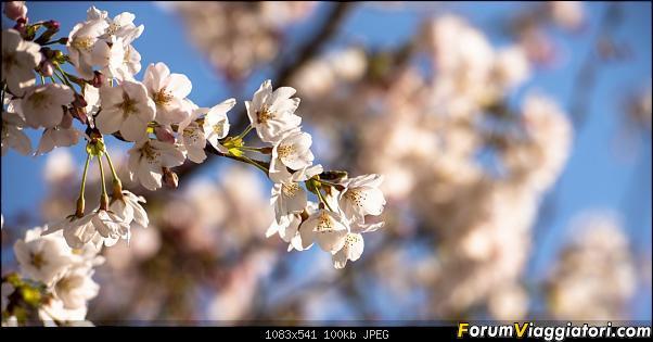 In Giappone in cerca dei ciliegi in fiore-_dsc9203.jpg