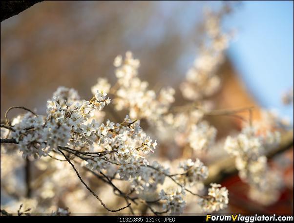 In Giappone in cerca dei ciliegi in fiore-_dsc9354_a.jpg