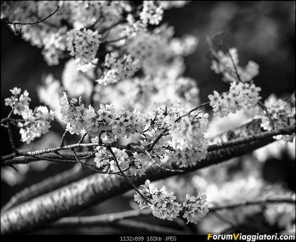 In Giappone in cerca dei ciliegi in fiore-_dsc9355_bn.jpg