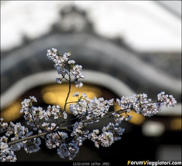 In Giappone in cerca dei ciliegi in fiore-_dsc9362_a.jpg