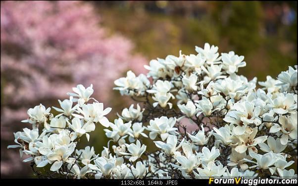 In Giappone in cerca dei ciliegi in fiore-_dsc9405.jpg