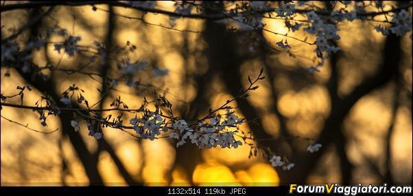 In Giappone in cerca dei ciliegi in fiore-_dsc9409.jpg