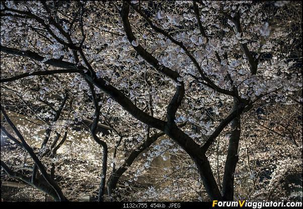 In Giappone in cerca dei ciliegi in fiore-_dsc9437.jpg