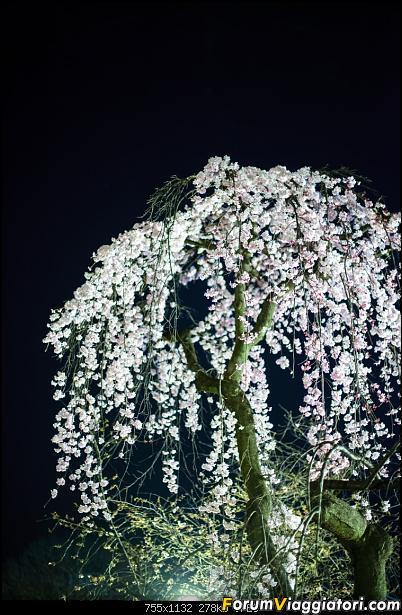 In Giappone in cerca dei ciliegi in fiore-_dsc9442.jpg