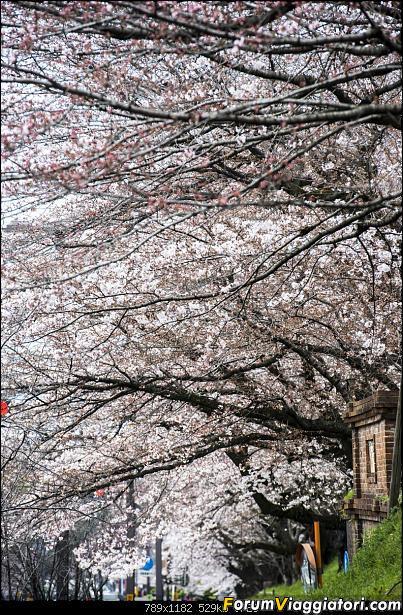 In Giappone in cerca dei ciliegi in fiore-_dsc9493.jpg