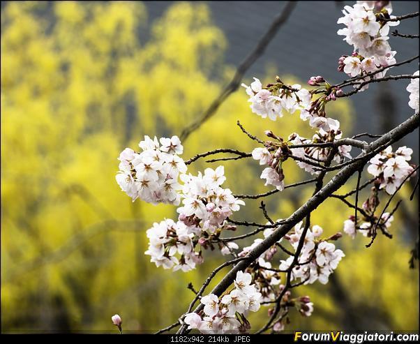 In Giappone in cerca dei ciliegi in fiore-_dsc9516.jpg