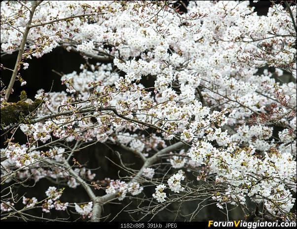 In Giappone in cerca dei ciliegi in fiore-_dsc9522.jpg