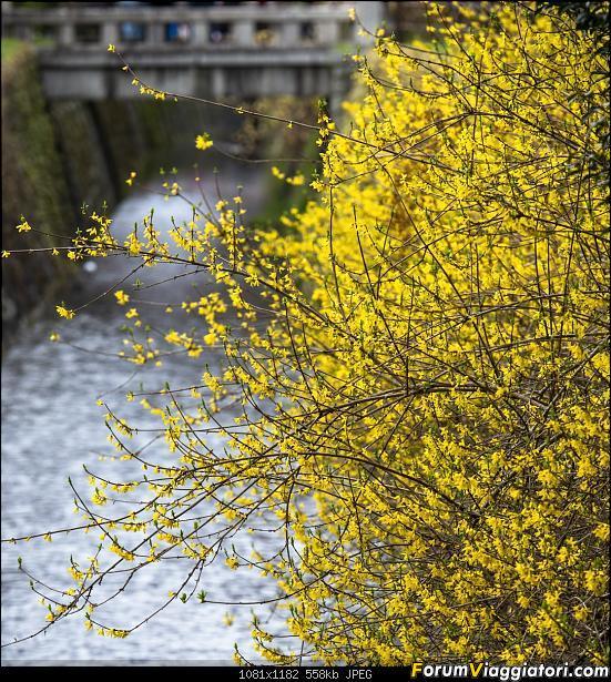 In Giappone in cerca dei ciliegi in fiore-_dsc9550.jpg