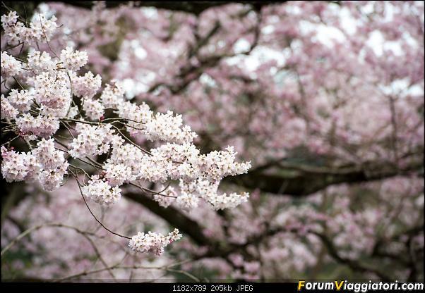 In Giappone in cerca dei ciliegi in fiore-_dsc9557.jpg