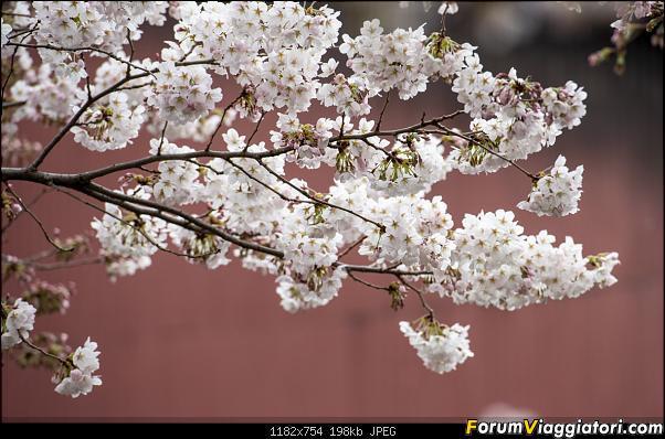 In Giappone in cerca dei ciliegi in fiore-_dsc9567.jpg