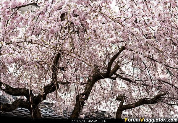 In Giappone in cerca dei ciliegi in fiore-_dsc9570.jpg