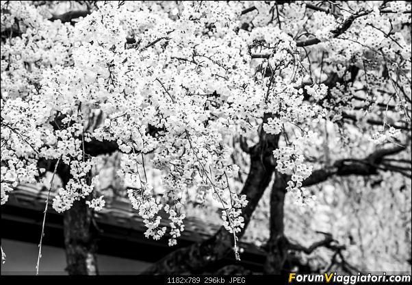 In Giappone in cerca dei ciliegi in fiore-_dsc9571-2.jpg