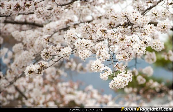 In Giappone in cerca dei ciliegi in fiore-_dsc9608_a.jpg