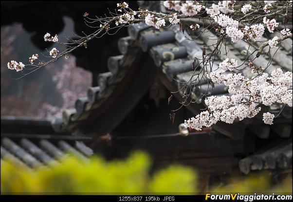 In Giappone in cerca dei ciliegi in fiore-_dsc9611.jpg