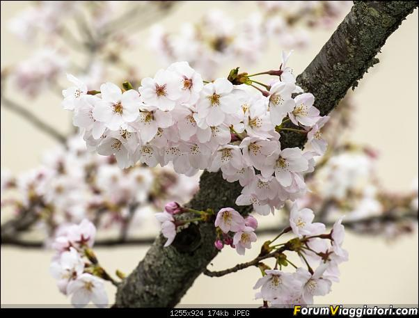 In Giappone in cerca dei ciliegi in fiore-_dsc9618.jpg
