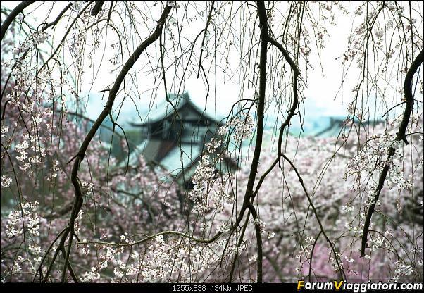 In Giappone in cerca dei ciliegi in fiore-_dsc9640.jpg