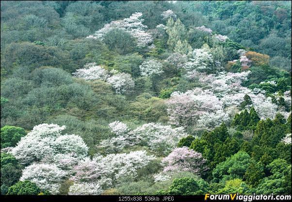 In Giappone in cerca dei ciliegi in fiore-_dsc9677.jpg
