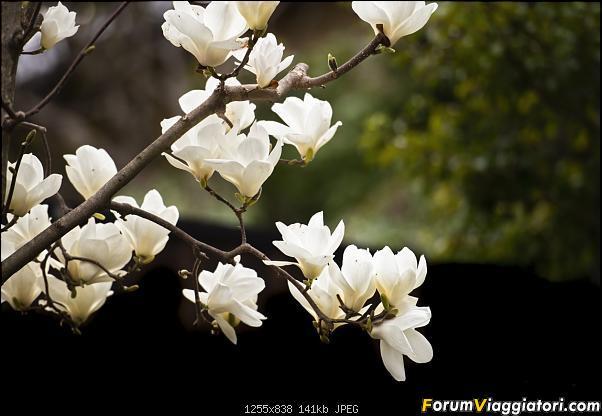 In Giappone in cerca dei ciliegi in fiore-_dsc9706.jpg