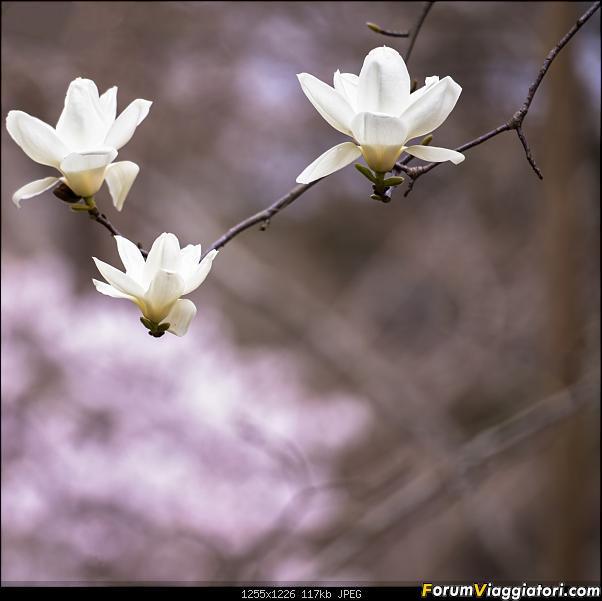 In Giappone in cerca dei ciliegi in fiore-_dsc9723.jpg