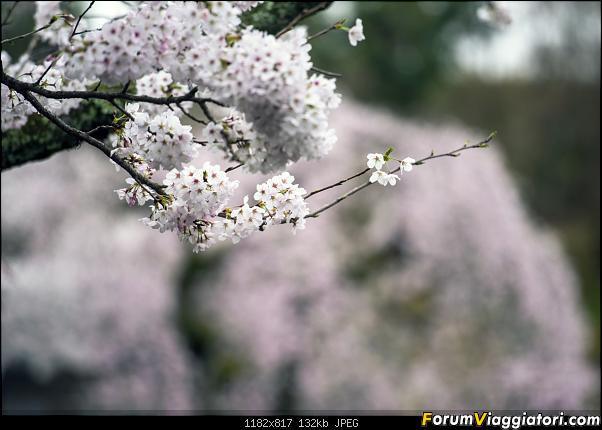 In Giappone in cerca dei ciliegi in fiore-_dsc0010.jpg