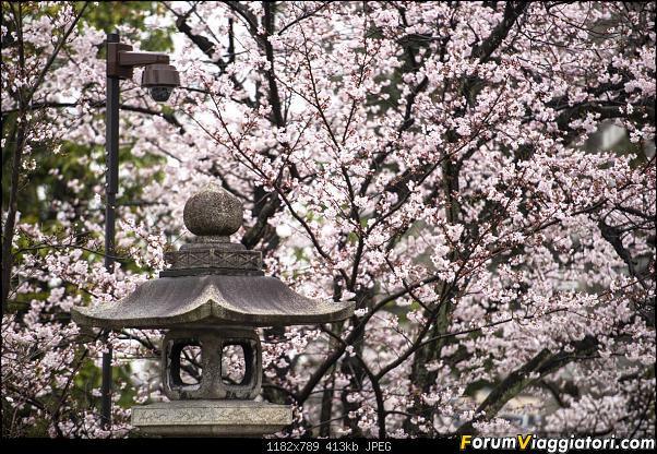 In Giappone in cerca dei ciliegi in fiore-_dsc9817.jpg