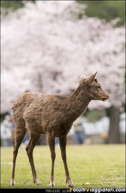 In Giappone in cerca dei ciliegi in fiore-_dsc0056.jpg