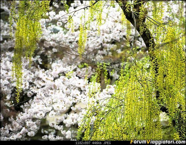 In Giappone in cerca dei ciliegi in fiore-_dsc0069_a.jpg