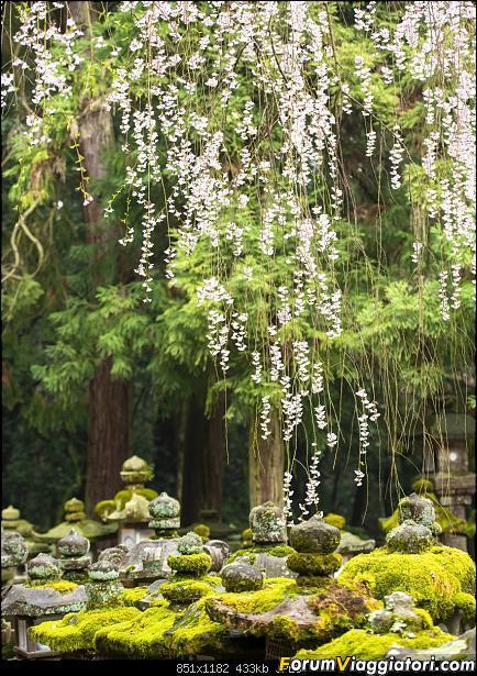 In Giappone in cerca dei ciliegi in fiore-_dsc0145.jpg