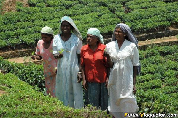 raccolta del tè