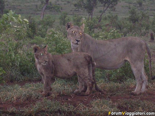 29 Leoni al Kruger durante il safari all'alba (3)