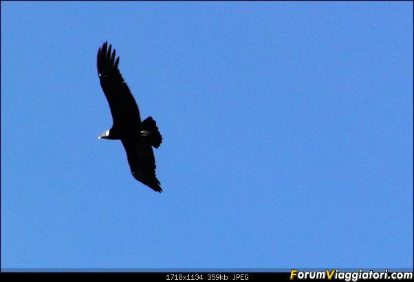 Da Buenos Aires e Iguazu alla Terra del Fuoco,sconfinando nella patagonia Cilena-129-condor.jpg