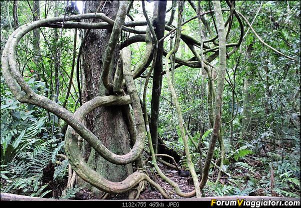 Da Buenos Aires e Iguazu alla Terra del Fuoco,sconfinando nella patagonia Cilena-025-liane-giganti.jpg
